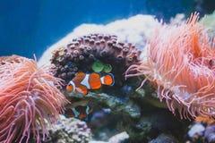 Błazenu rybi i Denny anemon w akwarium i fotografia royalty free