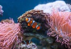Błazenu rybi i Denny anemon w akwarium i fotografia stock
