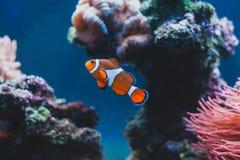 Błazenu rybi i Denny anemon w akwarium i obraz stock