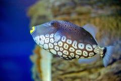 Błazenu Triggerfish pływania zdjęcie royalty free