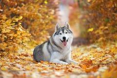 Błogi szary husky kłama w żółtych jesień liściach i bierze przyjemność obraz royalty free