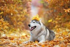 Błogi szary husky kłama w żółtych jesień liściach z koroną liście na jego głowie i bierze przyjemność zdjęcia stock