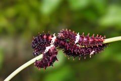 Błonia Pachliopta aristolochiae Różane gąsienicy obraz royalty free