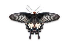 Błonia Pachliopta różani aristolochiae motyli Zdjęcia Stock