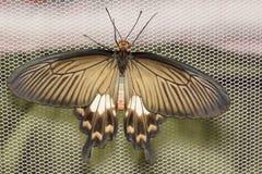 Błonie Różany motyl Fotografia Royalty Free