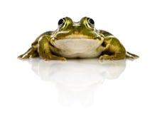 Błonie Wodna żaba przed białym tłem obrazy stock