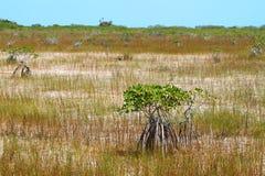 błota mangrowe obrazy royalty free