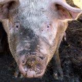 Błotnista świnia w sty Obrazy Royalty Free