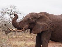 Błotnisty słoń na sawannie w Kruger parku zdjęcie stock