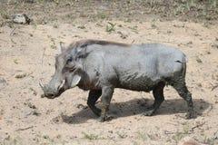 Błotnisty Warthog zdjęcie stock