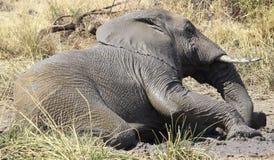 Błoto, błoto, chwalebnie błoto Afrykański krzaka słoń, Loxodonta Africa obraz stock