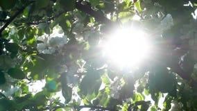 Błyska i błyśnie słońce przez kwitnąć jabłoni ulistnienie