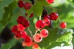 Błyskający w lata słońca wiązki czerwonego rodzynku dojrzałych soczystych jagodach, brzęczenia Fotografia Royalty Free