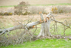 błyskawicowy bombardowany drzewo Zdjęcia Stock