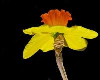 błyskotliwości daffodil Zdjęcia Royalty Free