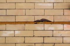 Błyszcząca żółta ściana z cegieł tekstura Zdjęcia Stock