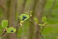 Błyszczące olchowe liść ścigi siedzi na liściach Olchowy drzewo - Agelastica alni Zdjęcie Stock
