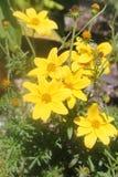 Błyszczący żółci kwiaty szczęście obrazy stock