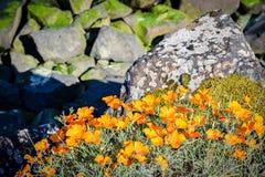 Błyszczący żółty pomarańczowy kwiatu dorośnięcia dziki outdoors z skałami w tle obrazy stock