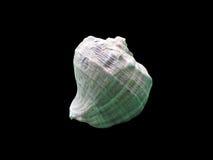 Błyszczący makro- pojedynczy seashell Zdjęcie Royalty Free