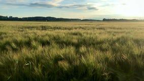 Błyszczący pole na gorącym letnim dniu w lecie zdjęcie wideo
