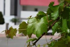 Błyszczący zielony liść w świetle słonecznym Obrazy Royalty Free