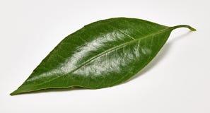 Błyszczący zielony tangerine liść na białym tle Makro- strzelanina zdjęcia royalty free