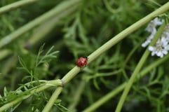 BÅ'yszczeć, czerwona biedronka i Ladybird ruszamy siÄ™ prosto zdjęcia stock