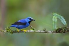 Błyszczeć Honeycreeper Cyanerpes lucidus Costa Rica obrazy stock