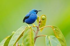 Błyszczeć Honeycreeper, Cyanerpes lucidus, egzotycznego zwrotnika błękitny tanager z żółtą nogą, Panama Błękitny ptak śpiewający  Obraz Royalty Free