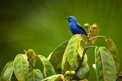 Błyszczeć Honeycreeper, Cyanerpes lucidus Piękny błękitny ptak fr zdjęcia royalty free