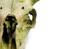 b łamającemu przeciwko pomieszczenia horn starego czaszka white Zdjęcia Stock