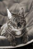 B; ack i Tabby Biały Kot Obrazy Stock