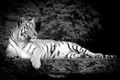 B;ack and white bengal Tiger in forest show head and leg. At Thailand stock image