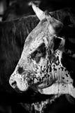 B&w del toro del rodeo imagen de archivo