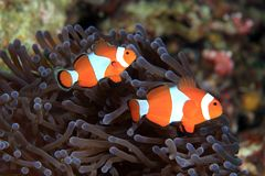Błazenów anemonefish Zdjęcie Royalty Free