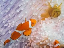 Błazenów anemonefish przy podwodnym fotografia royalty free