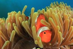 Błazen Anemonefish Zdjęcie Royalty Free