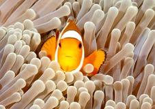 Błazen Anemonefish Zdjęcie Stock