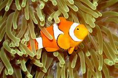 Błazen Anemonefish w Dennym anemonie Zdjęcie Royalty Free