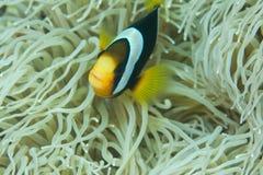błazen ryba Zdjęcia Stock