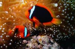 błazen ryba Fotografia Royalty Free