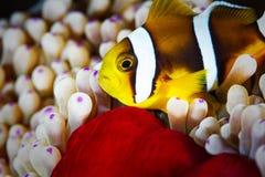 Błazen ryba Zdjęcie Royalty Free