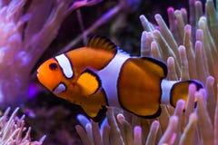Błazenu anemon i ryba Obraz Stock