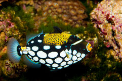 Błazenu cyngla ryba Zdjęcia Royalty Free
