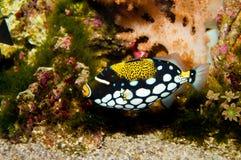 Błazenu cyngla ryba Obrazy Stock