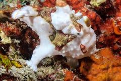 Błazenu Frogfish Zdjęcia Stock