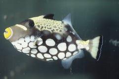 błazenu ryba cyngiel Obrazy Royalty Free