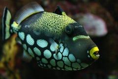 Błazenu Triggerfish Zdjęcia Stock