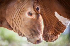 B2B企业用头撞概念的公牛 免版税库存照片